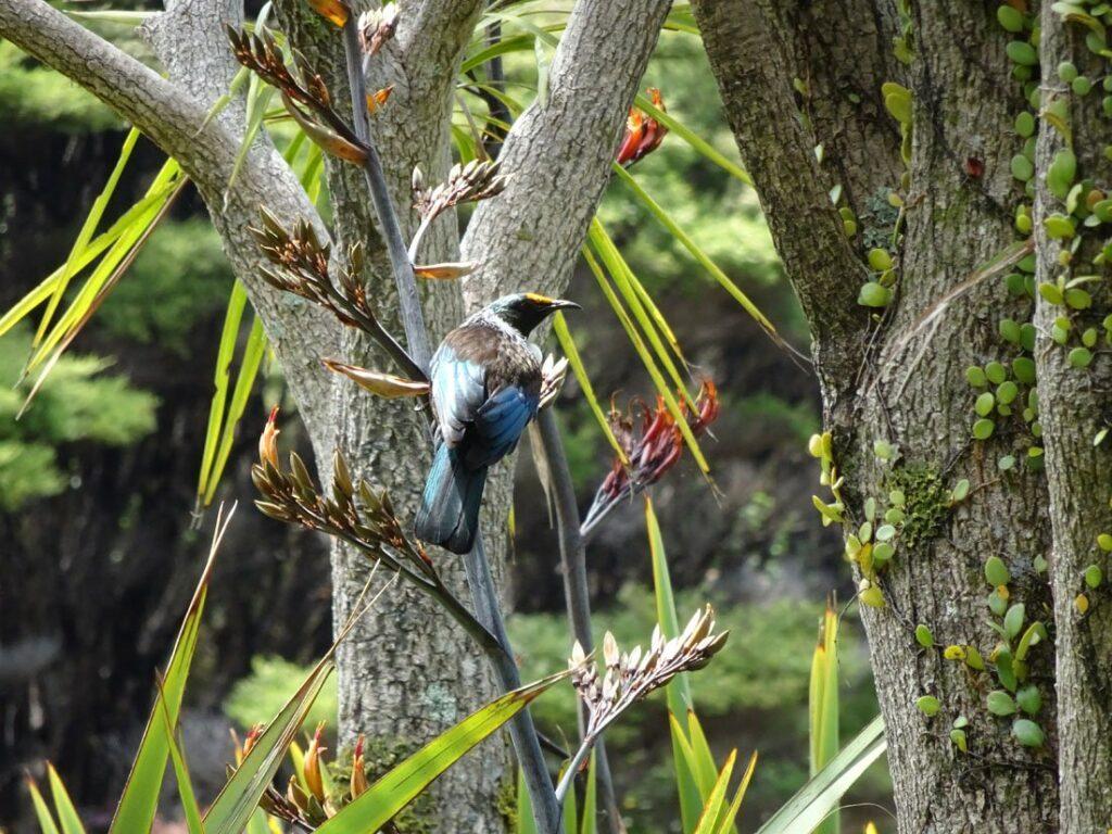 Le tui, oiseau emblématique de la Nouvelle-Zélande - Girltrotter