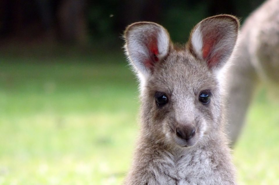 Voir des Kangourous en Australie autour de Sydney - Girltrotter