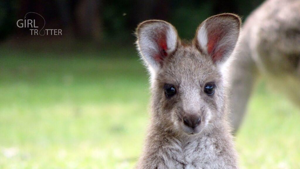 Fond d'ecran voyage animaux australie kangourou by Girltrotter