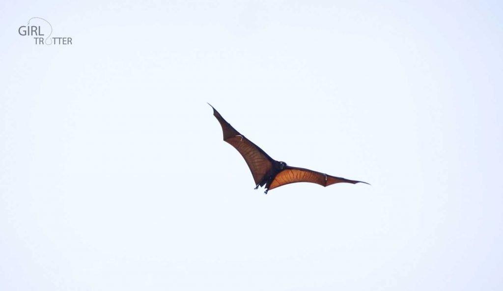 Chauve-souris roussette dite flying fox en anglais à Riung sur l'île de Florès en Indonésie