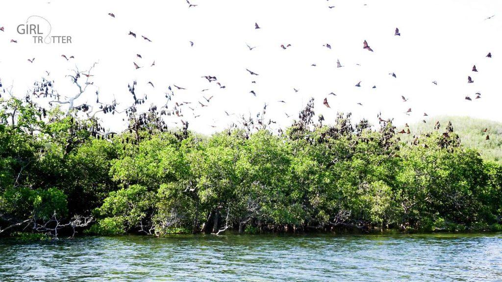 Nuée de chauves-souris roussettes dite flying fox en anglais à Riung sur l'île de Florès en Indonésie