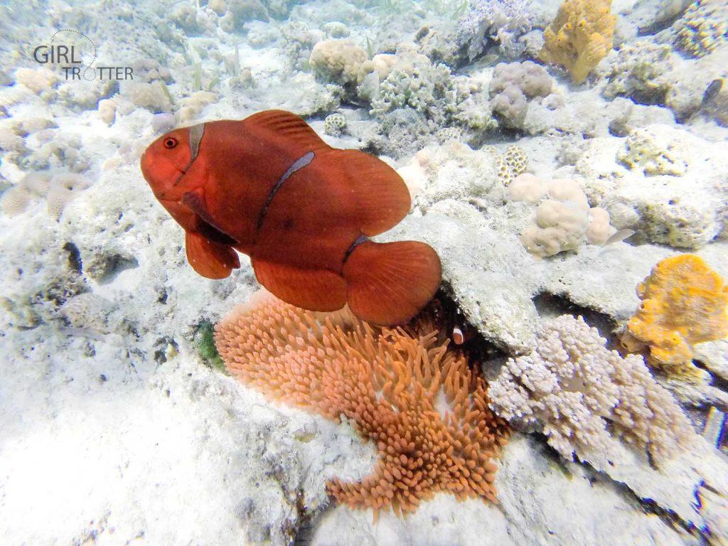 Le jardin de la mer de Riung sur l'île de Flores en Indonésie - poisson clown