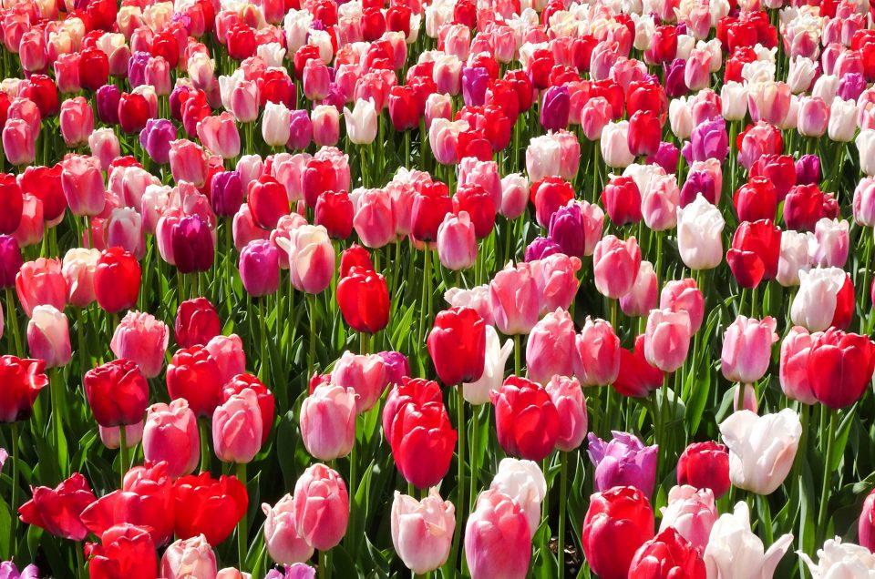Keukenhof - champs de fleurs en hollande - Girltrotter