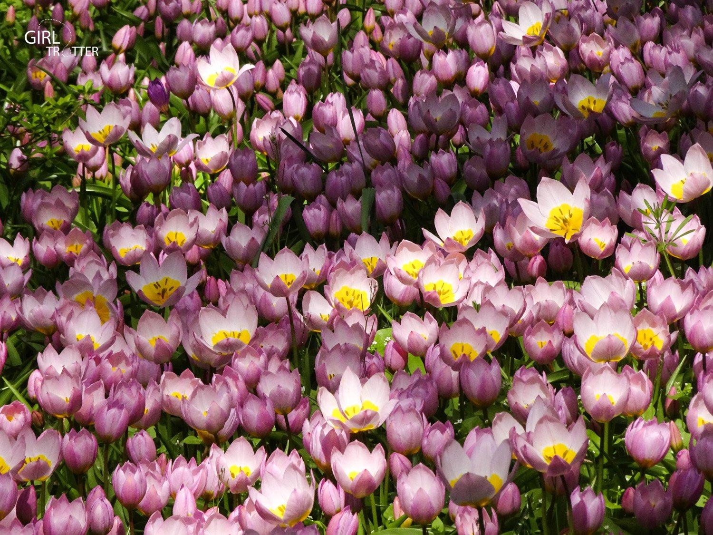Keukenhof fleurs en hollande