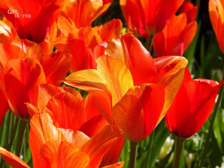 Keukenhof tulipes en hollande