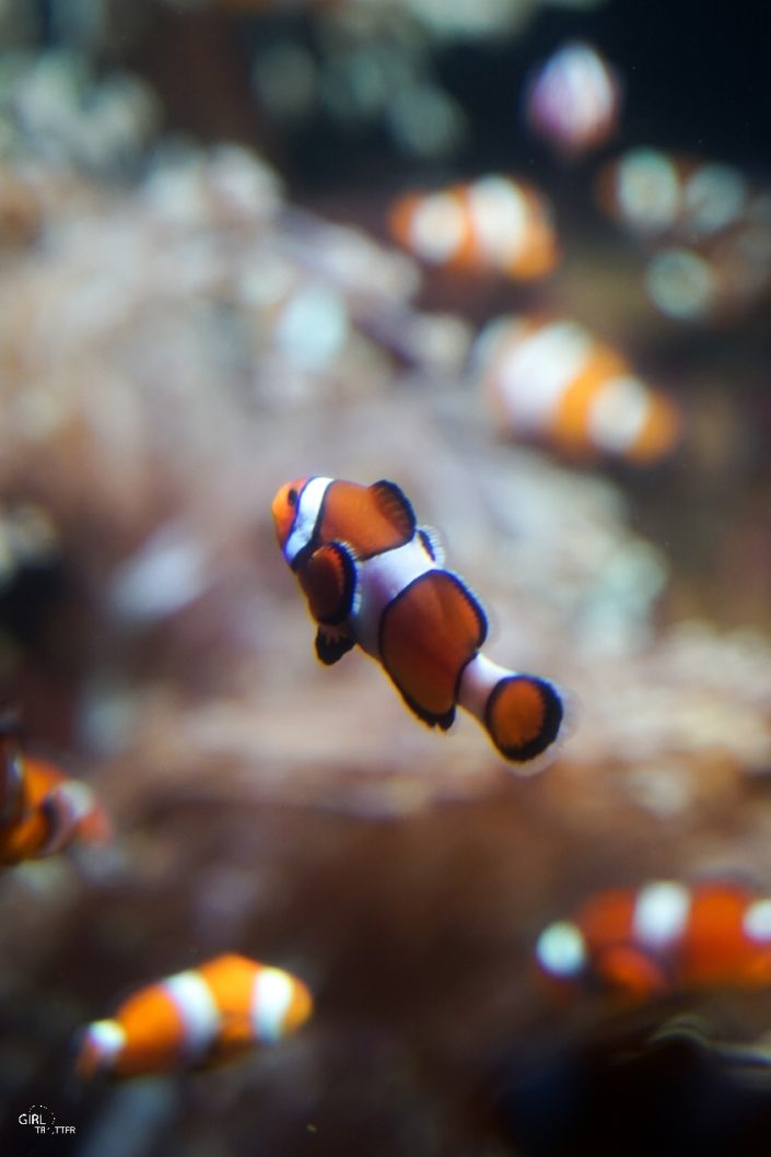Grand aquarium de Nausicaa à Boulogne-sur-Mer poisson clown