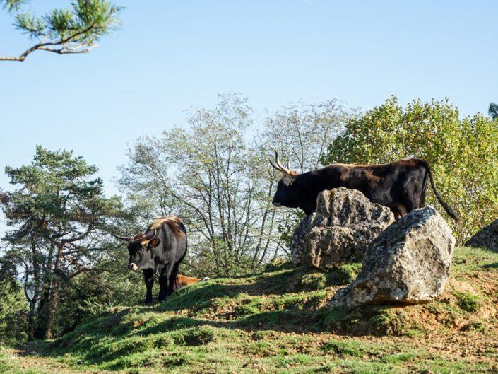 Aurochs au Parc animalier du Thot