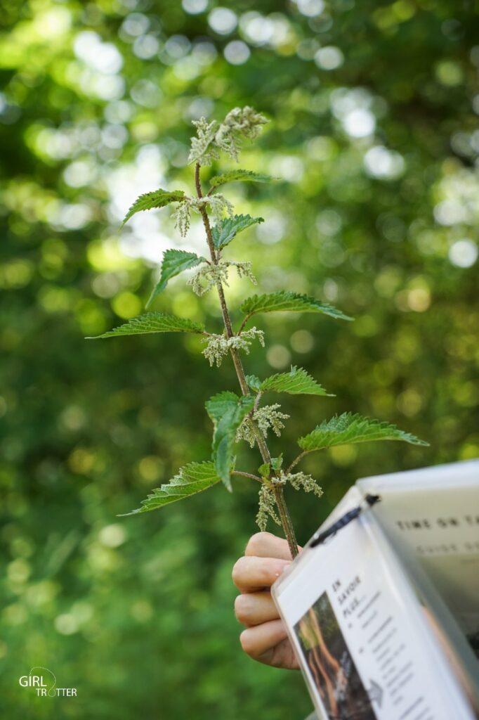 Survie et bushcraft et plantes comestibles : l'ortie