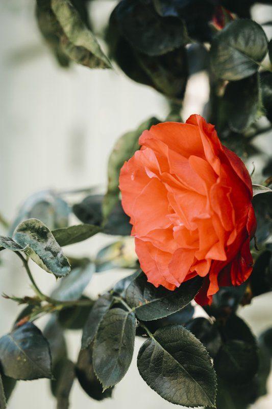 Gerberoy, une véritable roseraie à la belle saison