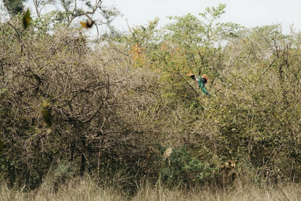 Paon sauvage - Rencontre avec un tigre dans la jungle au Népal - Bardia National Park - Récit de voyage
