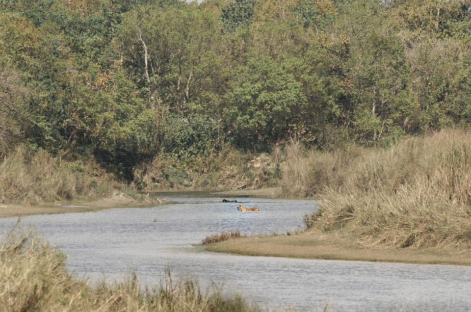 Rencontre avec un tigre sauvage au Népal ⋆ Récit de voyage