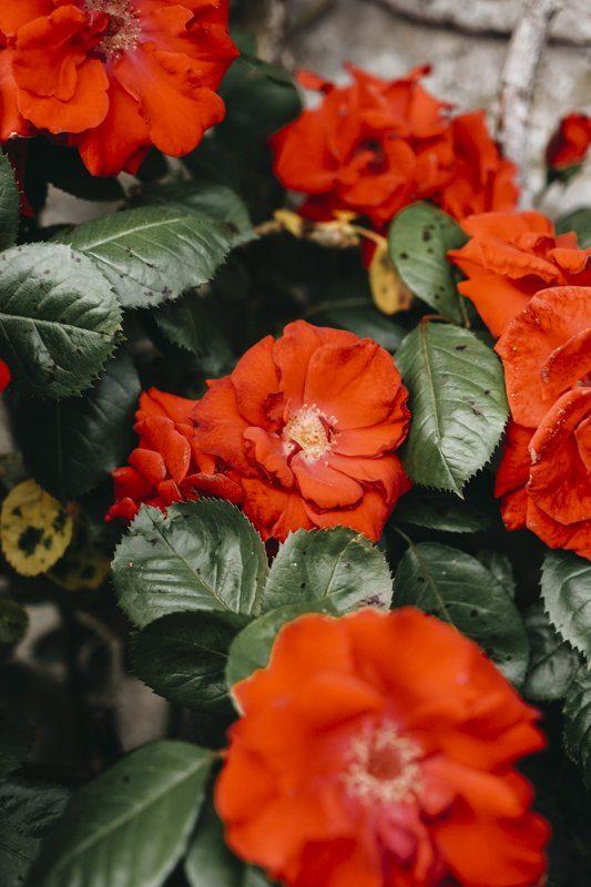 Roses rouges de Gerberoy pour un weekend bucolique proche Paris